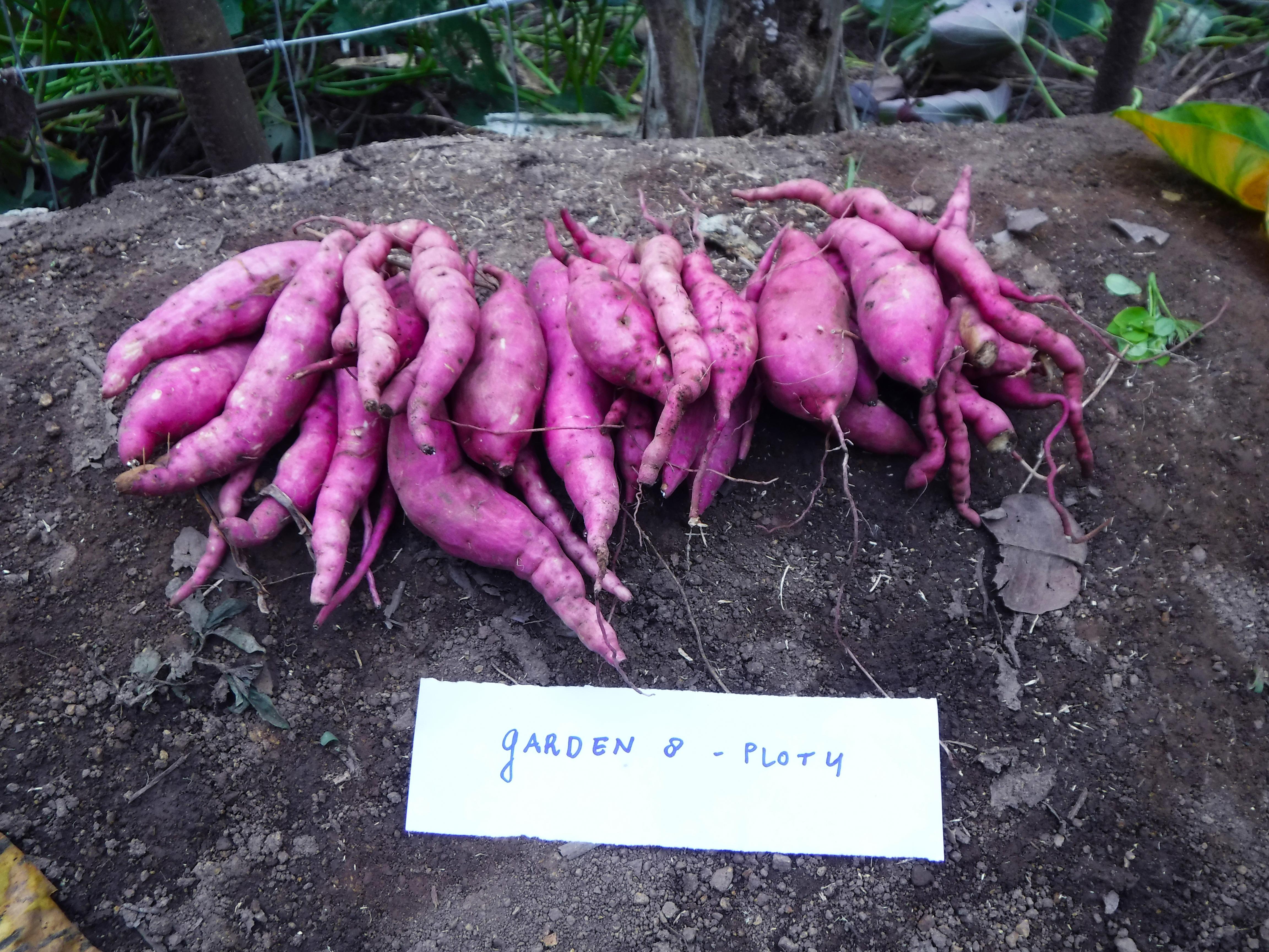 De Zoete Aardappel Als Onderzoeksobject